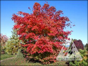 Acer x pseudosieboldianum North Wind®