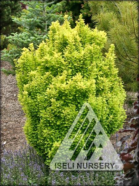 Berberis thunbergii 'Golden Torch'