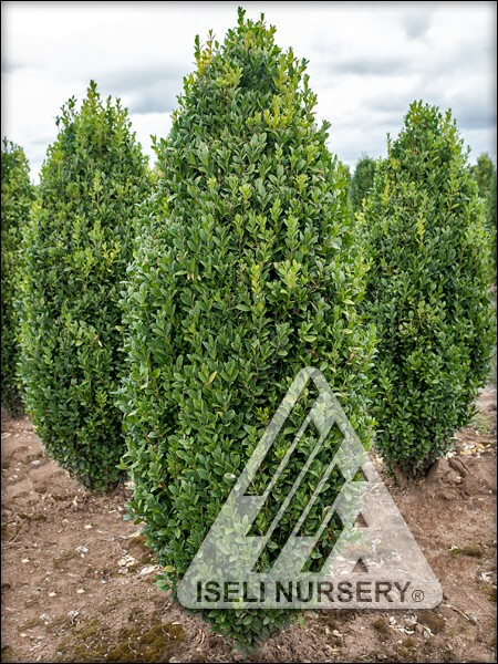 Buxus sempervirons 'Graham Blandy'