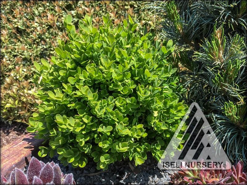 Buxus sempervirons 'Suffruticosa'