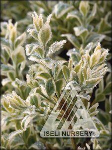 Buxus sempervirons 'Variegata'