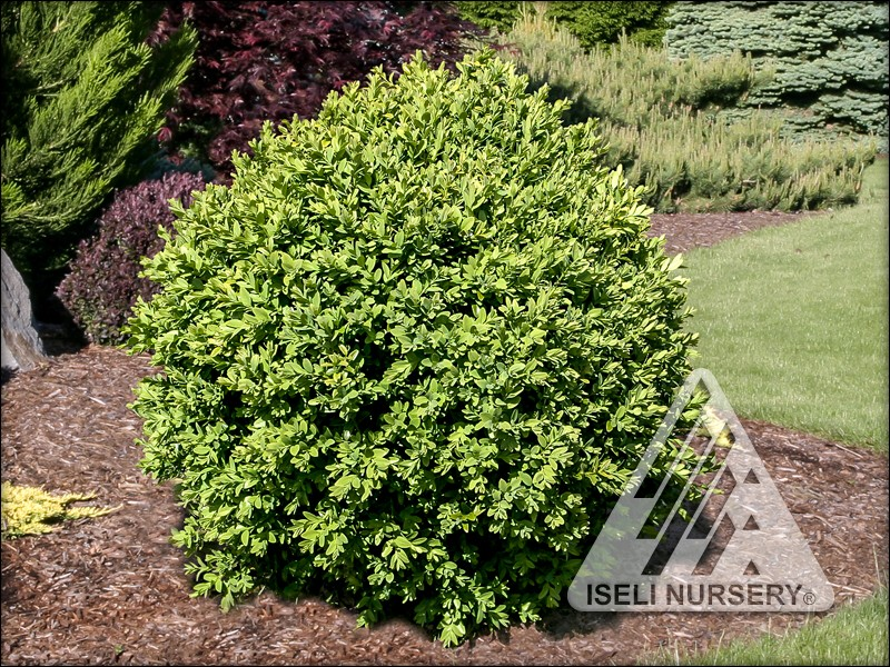 Buxus sempervirons