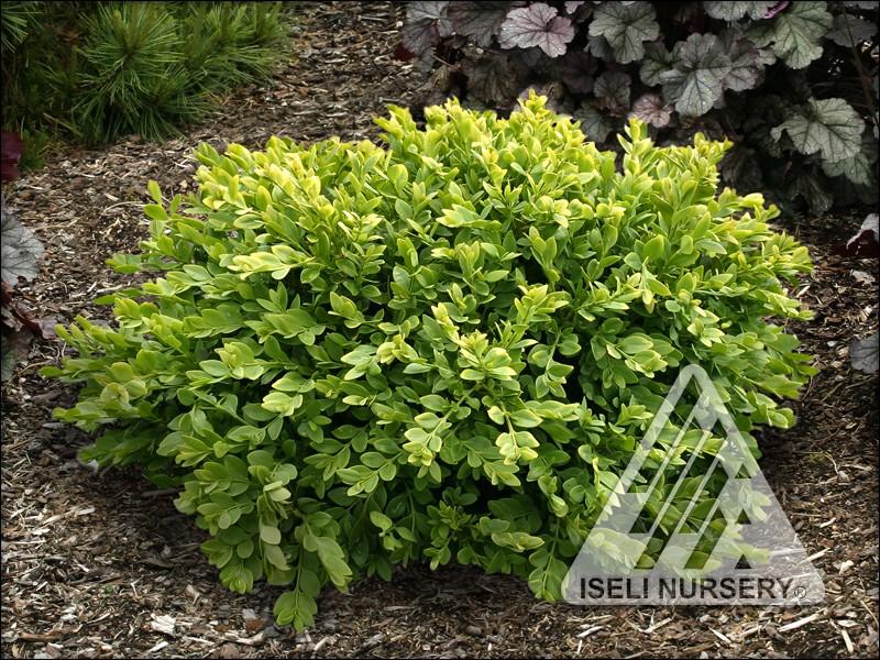 Buxus x 'Green Velvet'