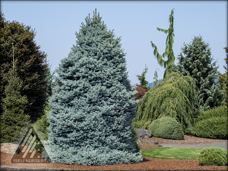 Colorful Conifers®