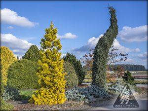 Colorful Conifers®