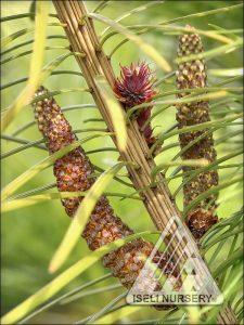 Cathaya argyrophylla - cones