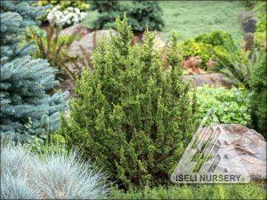 Cedrus libani brevifolia 'Kenwith'