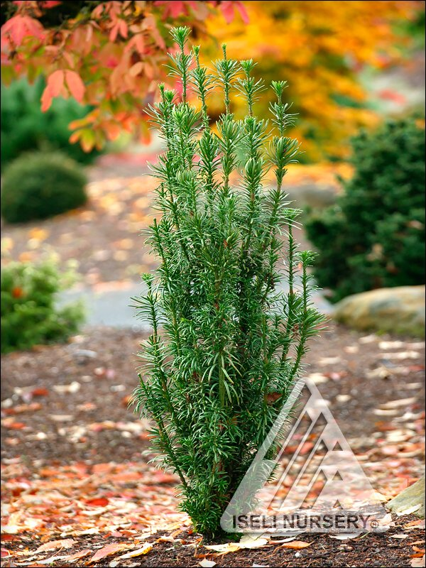 Cephalotaxus harringtonia 'Fastigiata'