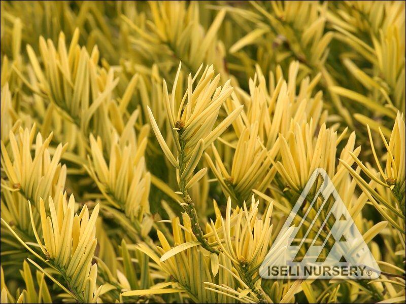 Cephalotaxus harringtonia 'Gold Splash' - close up