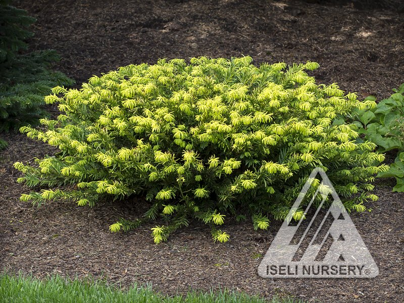 Cephalotaxus harringtonia 'Gold Splash'