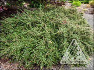 Cotoneaster microphylla 'Thyminifolius'