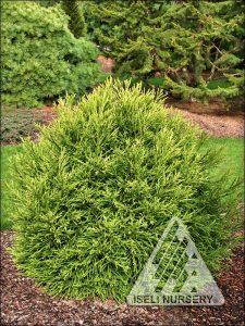 Cryptomeria japonica 'Mignone'