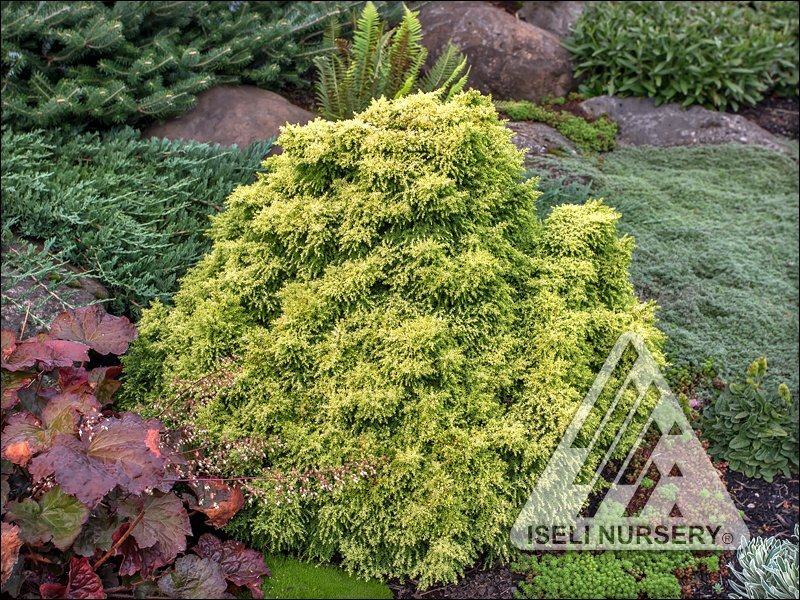 Cryptomeria japonica 'Twinkle Toes'