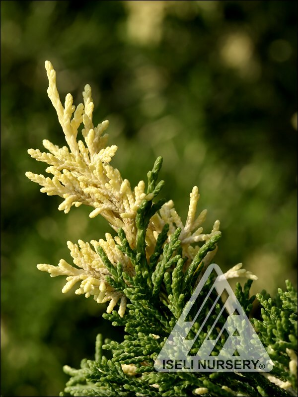 Juniperus chinensis 'Torulosa Variegata' - summer foliage