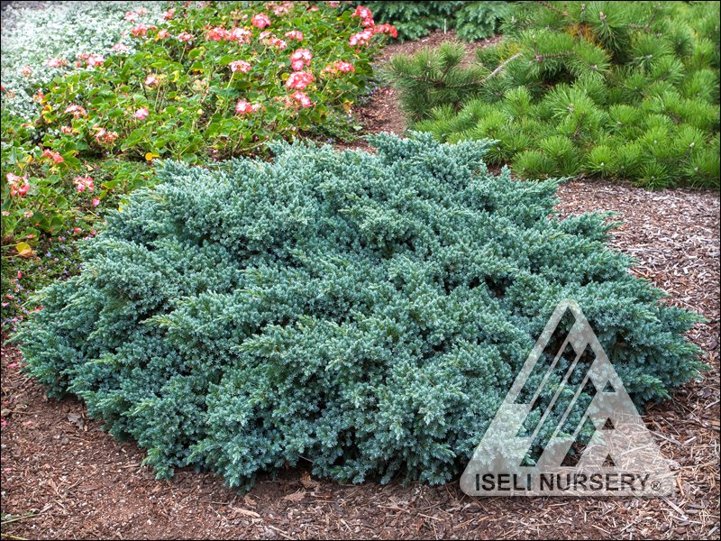 Juniperus squamata 'Blue Star'