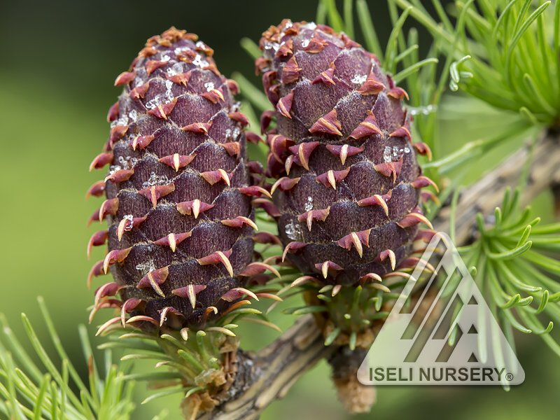 Larix decidua 'Varied Directions' - cones