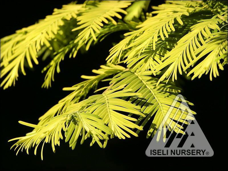 Metasequoia glyptostroboides 'Gold Rush' - close up