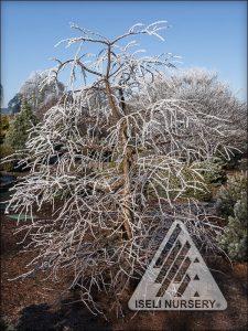 Metasequoia glyptostroboides 'Miss Grace' - winter frost