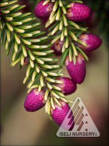 Picea orientalis 'Skylands' - cones