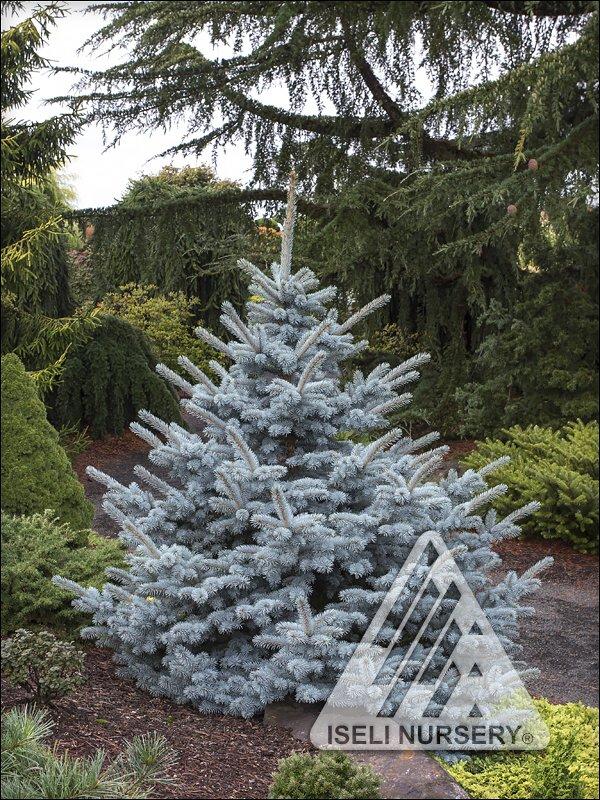 Picea pungens 'Avatar'