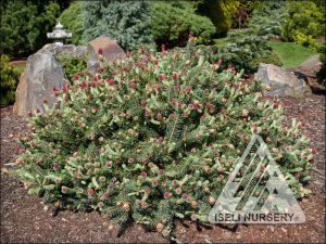 Picea pungens 'Hermann Naue'