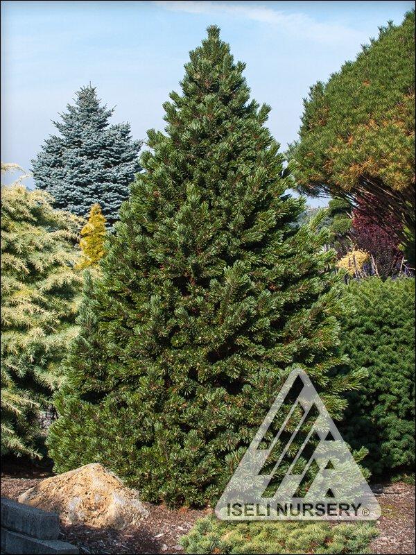 Pinus longaeva 'Sherwood Compact'