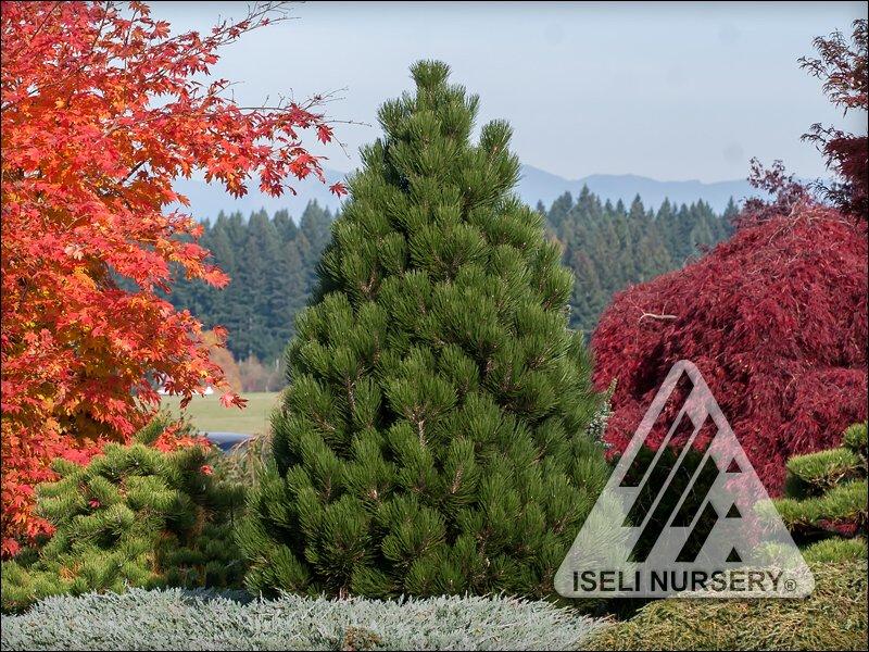 Pinus heldreichii 'Malink'