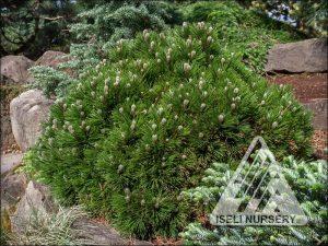 Pinus leucodermis heldreichii 'Smidtii'