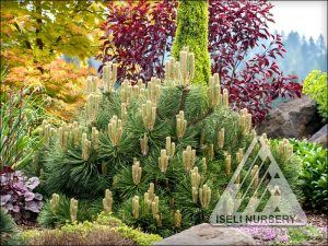 Pinus nigra 'Helga'