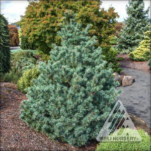 Pinus parviflora 'Bergmani'