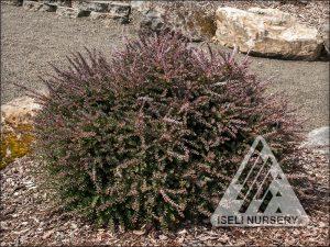 Podocarpus x 'Red Tip' - summer