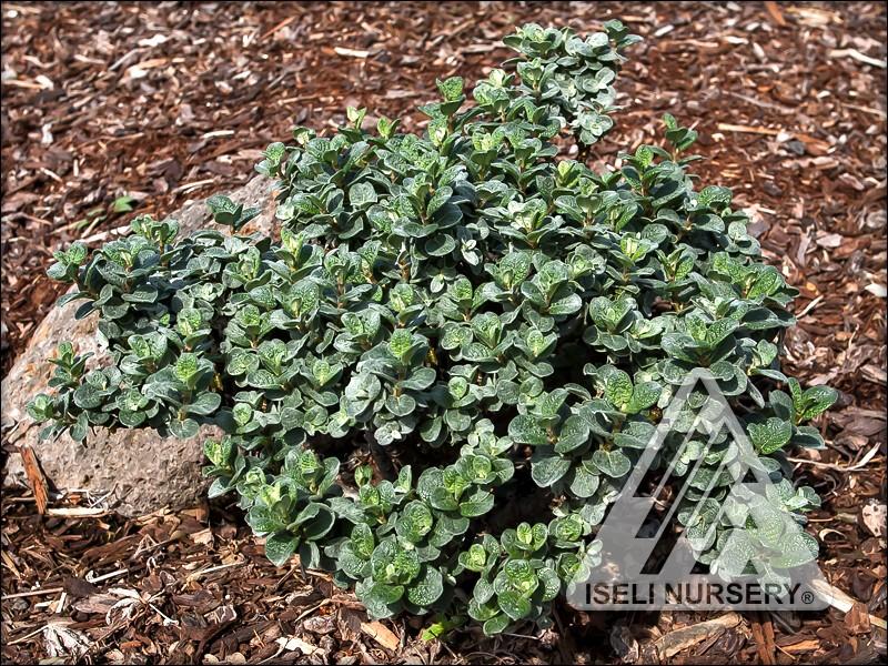 Salix boydii
