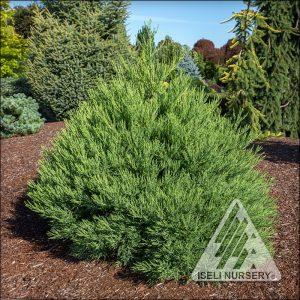 Sequoiadendron giganteum 'Von Martin'