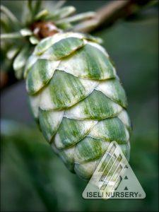 Tsuga canadensis 'Albospica' - cone