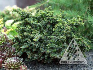 Ulmus parviflora 'Hakkaido'