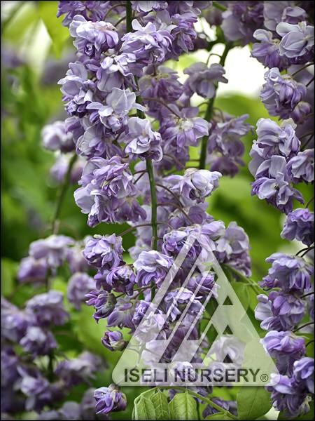 Wisteria floribunda 'Violacaea Plena'