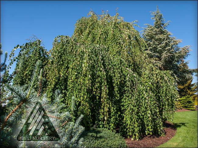Cercidiphyllum japonica 'Morioka Weeping'