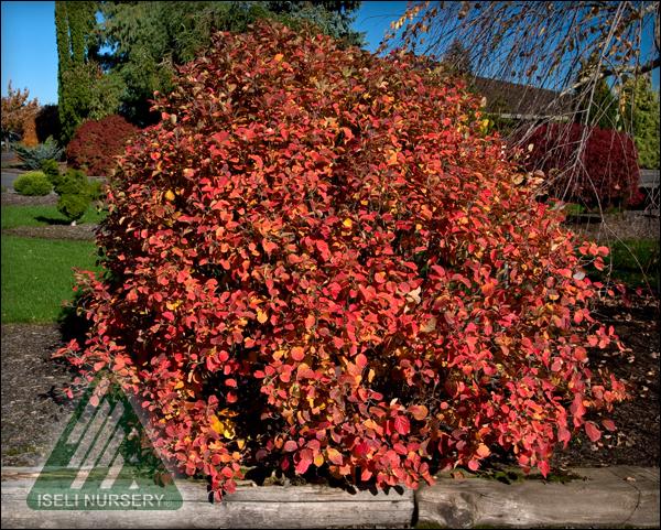 Fothergilla gardeni - autumn