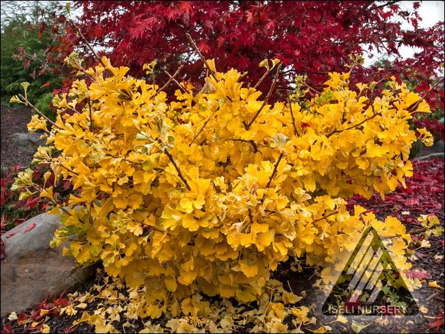 Ginkgo biloba 'Mariken' - autumn