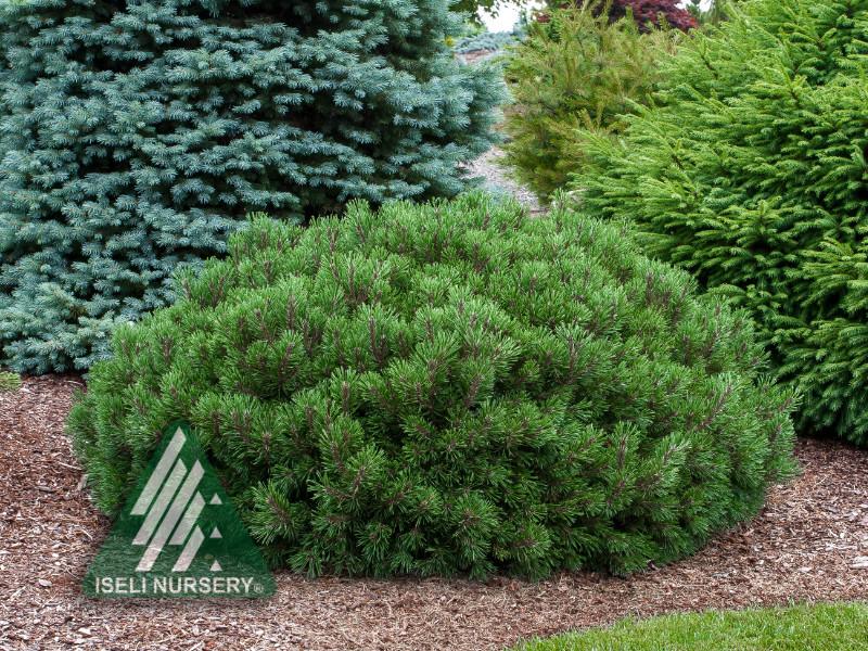 Pinus mugo 'Slowmound'