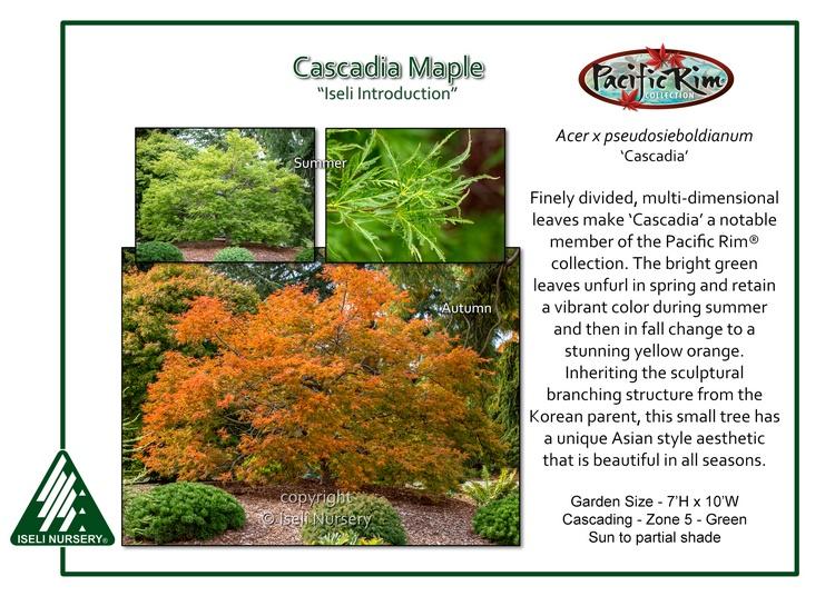 Acer x pseudosieboldianum 'Cascadia'
