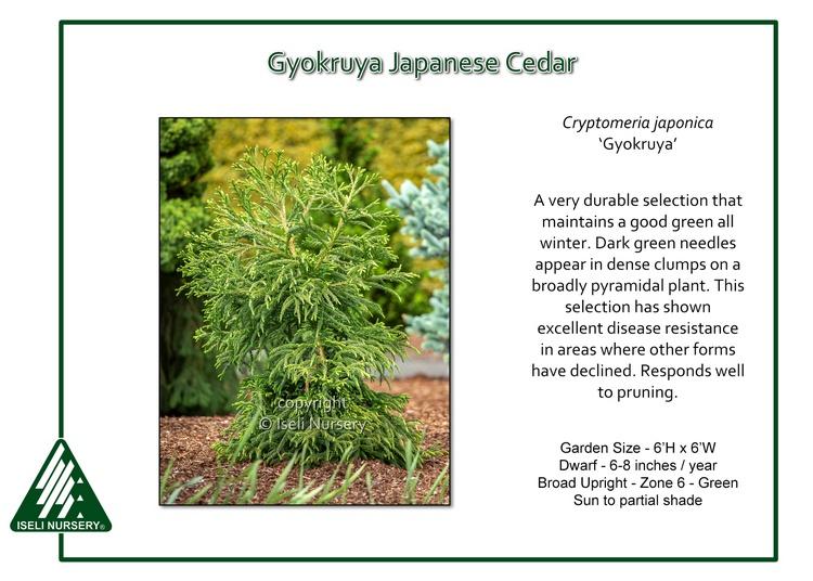 Cryptomeria japonica 'Gyokruya'