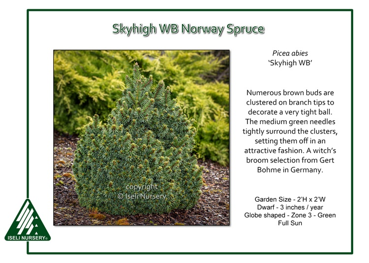 Picea abies 'Skyhigh WB'