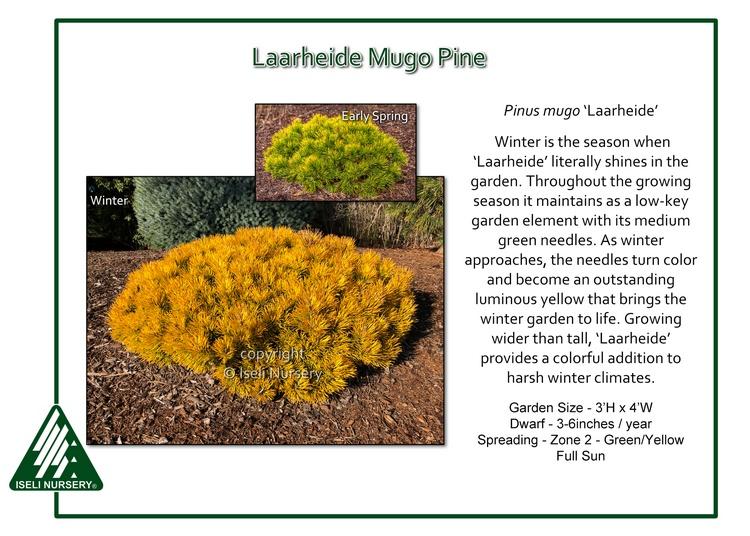 Pinus mugo 'Laarheide'