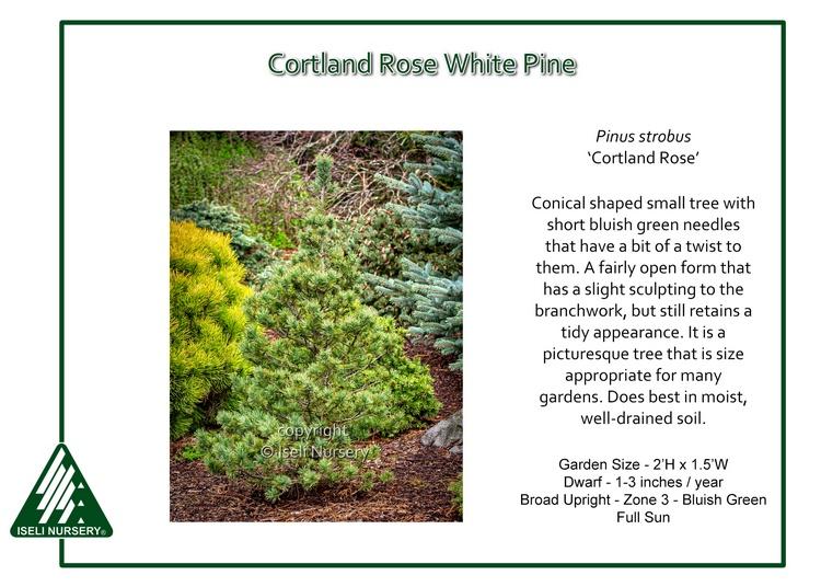 Pinus strobus 'Cortland Rose'