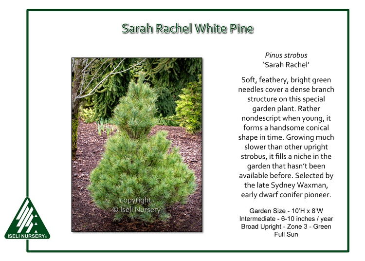 Pinus strobus 'Sarah Rachel'