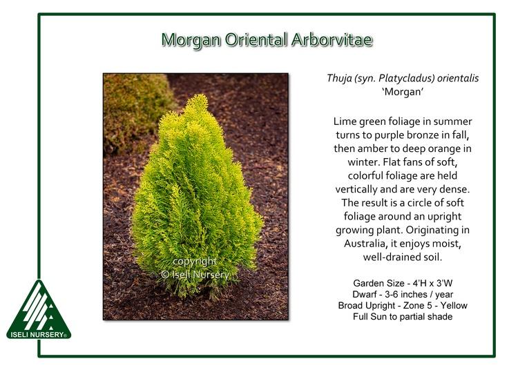 Thuja(Platycladus) orientalis 'Morgan'