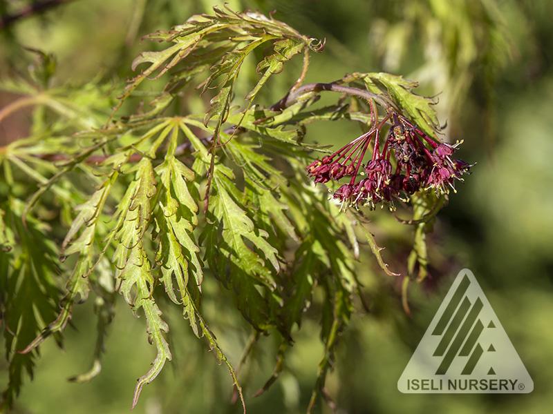 Acer 'Cascadia' - spring
