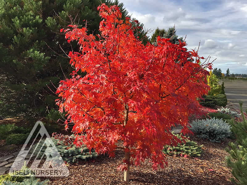 Acer Final Fire® - autumn tree