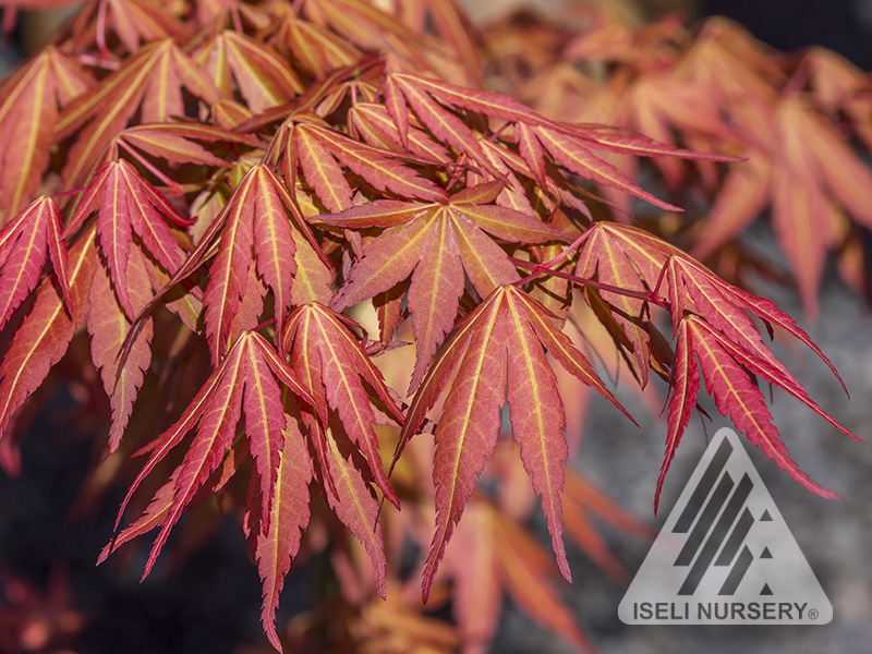 Acer First Flame® - spring leaves
